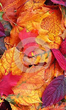 Free Autumn Leaves. Mobile Phone Wallpaper. Royalty Free Stock Image - 103203676
