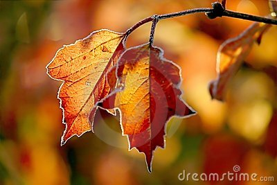 Autumn leaves with morning frost