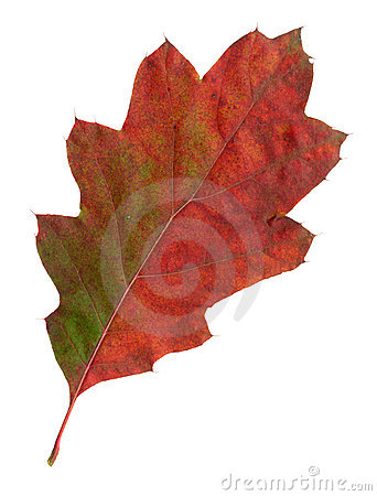 Autumn leaves of a red oak, top surface