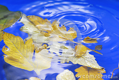 Autumn leaves in  ripple water