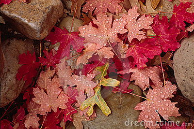 Autumn leaves and rocks