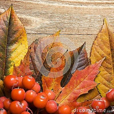 Autumn leaves and rowan berries