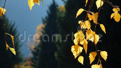 Autumn Leaves With Spruce Trees almacen de video