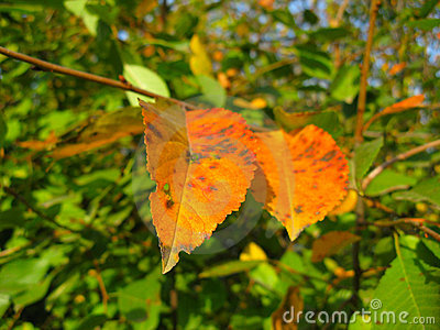 Autumn leaves on a trees