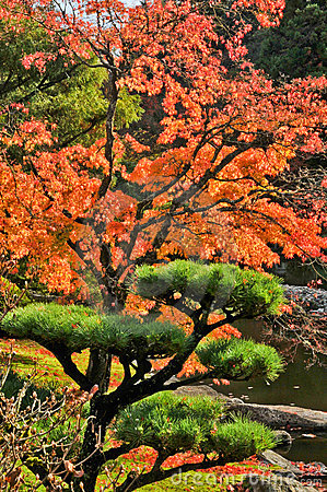 Free Autumn Maple And Pine Tree In Japanese Garden Royalty Free Stock Photo - 16899915