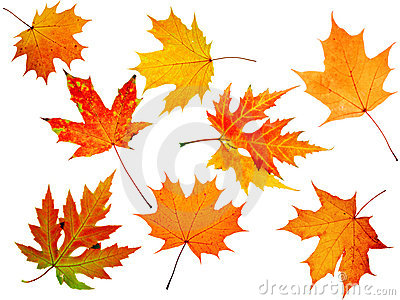 Autumn maple-leaf