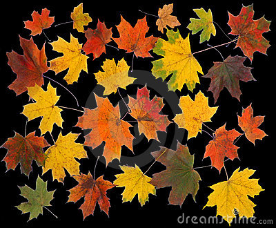The Autumn maple leafs.