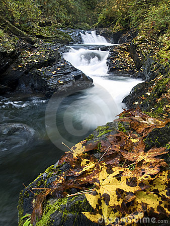 Autumn Maple Leaves alongside a mountain stream