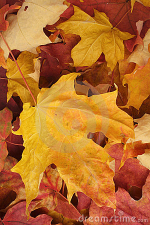 Autumn Maple Leaves Background Royalty Free Stock Image - Image: 15618106