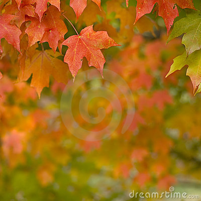 Autumn Maple Leaves hanging from tree