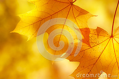 Autumn maple leaves in sunlight