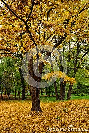 Autumn maple in park