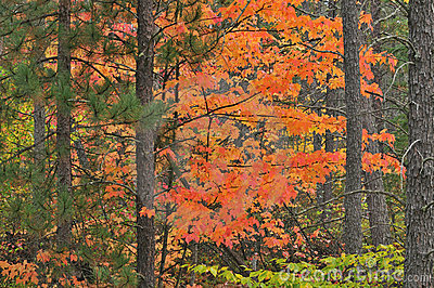 Autumn Maple and Pines