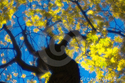 Autumn maple tree blurred  monocle