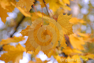 Autumn. Maple yellow fall leave