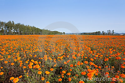 Autumn marigold Field