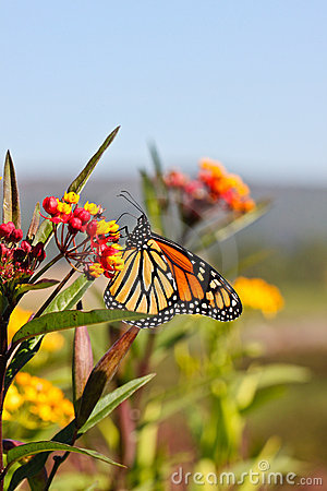 Autumn Monarch Butterfly Vivid Yellow Orange