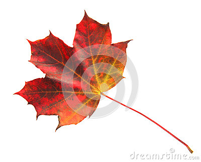 Autumn Multicolored Maple Leaf