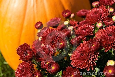 Autumn Mums With Pumpkin