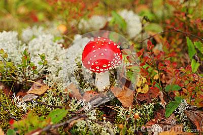 Autumn mushrooms in Finland forest