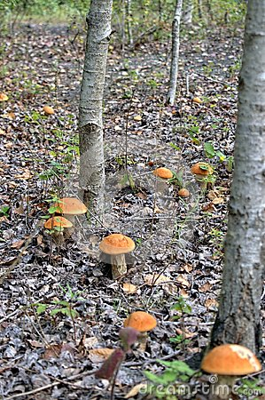 Free Autumn Mushrooms In A Natural Forest Environment. Stock Photos - 101243543
