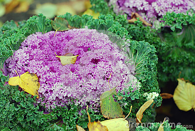 Autumn nature: violet cabbage in the park