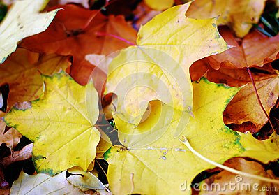 Autumn nature: yellow fallen leaves in the park