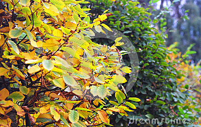 Autumn nature: yellow and green bushes in the park
