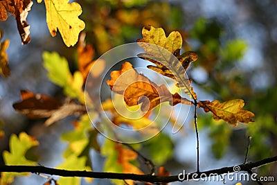 Autumn: oak leaves