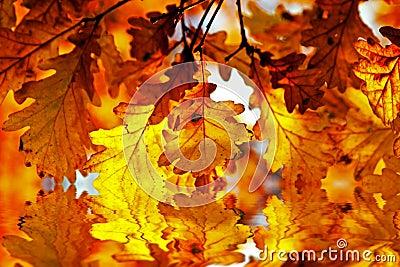 Autumn oak leaves in sunlight in the water