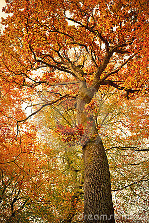 Autumn oak tree in the forest