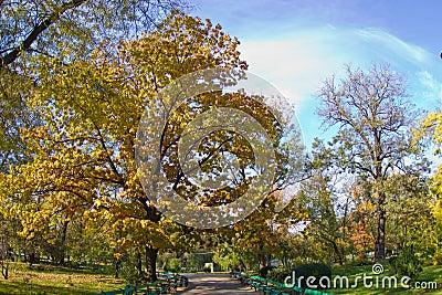 Autumn oak tree in a park