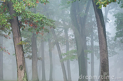 Autumn Oaks in Fog