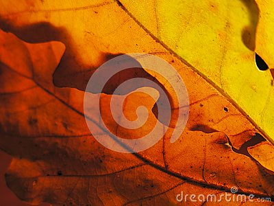 Autumn palette with sun through oak leaves