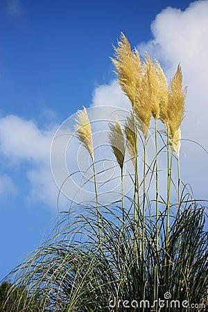 Autumn Pampus grass