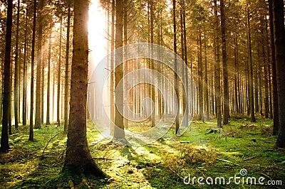 Autumn Pine Forest