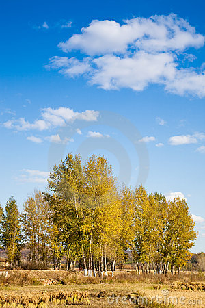 Autumn poplar