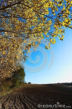 Autumn poplar tree