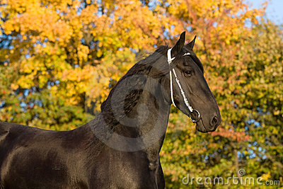 Autumn portrait of friesian horse