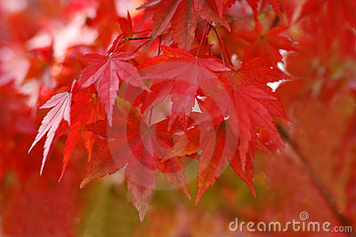 Autumn red
