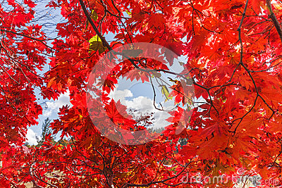 Autumn Red Leaf Background