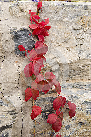 Free Autumn, Red Leaves, Vines Stock Photography - 46409672