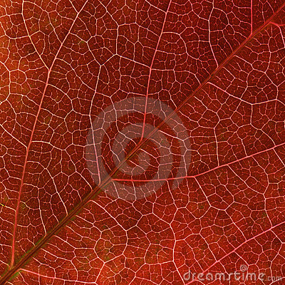 Autumn red Virginia creeper  leaf veins close up.