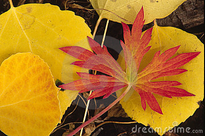 Autumn Red and Yellow