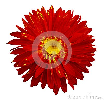 Free Autumn Red-yellow Aster Flower On A White Isolated Background With Clipping Path. Flower For Design, Texture, Postcard, Wrapper. Royalty Free Stock Images - 106105019