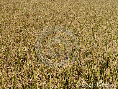 Autumn rice field texture