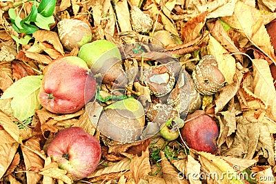 Autumn rotten fruits