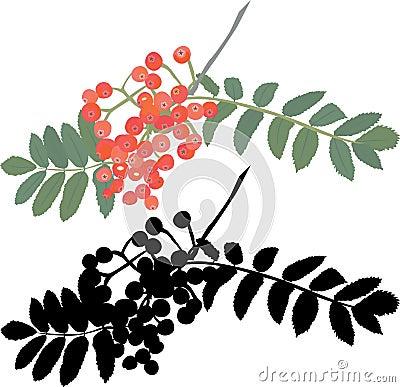 Autumn rowan berry branch