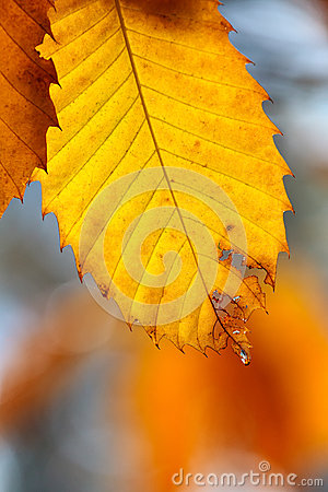 Autumn scene with water drop hanging on a leaf