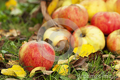 Autumn Still Life with apples
